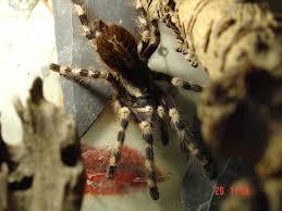 image poecilotheria formosa salem ornamental tarantula biolib cz