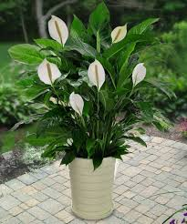 amazon com spathiphyllum peace lily 25 seeds indoor air