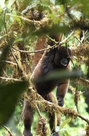 woolly monkey fundacion ecominga