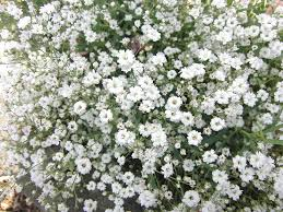 babys breath wildflower baby s breath san diego seed company