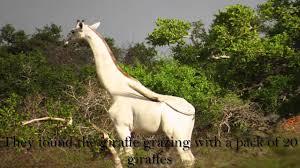 white giraffe spotted in tanzania youtube