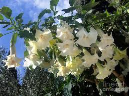 White Trumpet Flower - white datura trumpet flowers 2 photograph by sofia metal queen