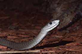 gago black mamba king snakes