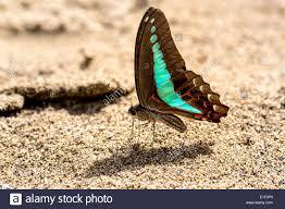 Seeking Malaysia Butterfly Seeking Water C 5 Mulu Malaysia Stock Photo