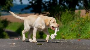 how to stop a dog from chewing and survive the lab chewing phase