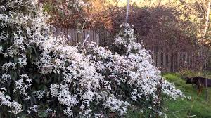 jasmine 1 trellis 0 but the fragrance is divine youtube