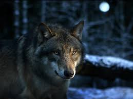 imagenes de fondo de pantalla lobos lobo alfa 1024x768 fondos de pantalla y wallpapers