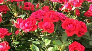 some water conserving methods of growing roses in a dry