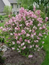 lilac tinkerbelle garden housecalls