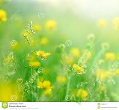 Flowers For Morning Sun - morning sun rays on little yellow flowers royalty free stock