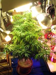 fluorescent light bulbs for growing weed do my cannabis plants need side lighting grow weed easy
