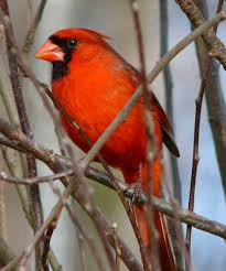file northern cardinal male 27527 jpg wikimedia commons