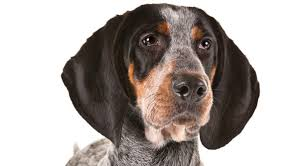bluetick coonhound exercise bluetick coonhound dog breed information american kennel club