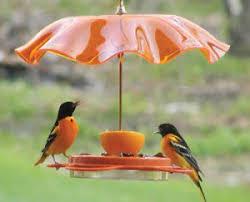 Florida Backyard Birds - baltimore oriole a