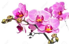 Purple Orchids Purple Orchids Stock Photos U0026 Pictures Royalty Free Purple