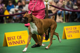 boxer dog 2015 westminster dog show 2015 live stream time tv schedule and how