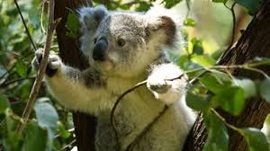 australia koalas rainforest rescue