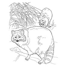 10 funny raccoon coloring pages toddler love color