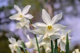 Ideas For Daffodil Varieties Design Daffodil Flowers How To Grow Narcissus Bulbs Garden Design