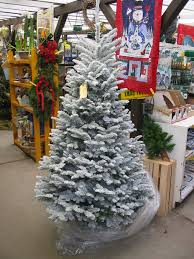 christmas trees noble fir flocked narrow in store