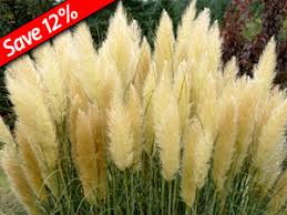 pas grass is hardy heavy flowering ornamental