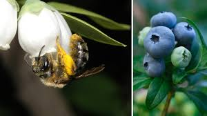 Flowers Bees Pollinate - wild bees are good for crops but crops are bad for bees the