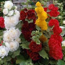 Hollyhock Flowers Hollyhock Flower Bulbs Garden Plants U0026 Flowers The Home Depot