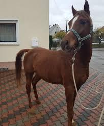 Suche Zu Kaufen Araber Pferde Hengste U0026 Stuten Kaufen Bei Deinetierwelt