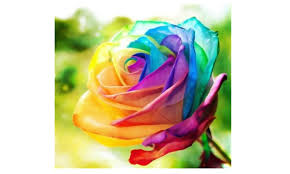multi colored roses multi color 200pcs rainbow flower seeds garden yard