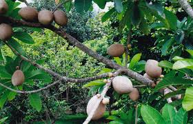 Tropical Fruit Tree Nursery - mamey sapote