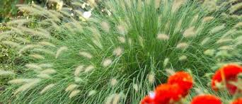 best time to trim ornamental grasses and more february tips