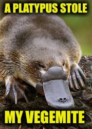 Platypus Meme - image tagged in memes funny platypus stolen australia vegemite