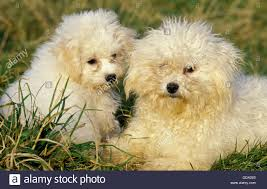 bichon frise jack russell cross temperament bichon frise puppy stock photos u0026 bichon frise puppy stock images