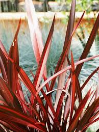 520 best phorium new zealand flax images on pinterest potted