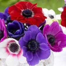 anemone flowers anemone flower