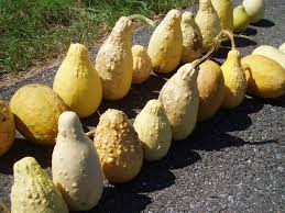 yellow ornamental gourds free stock photo domain pictures