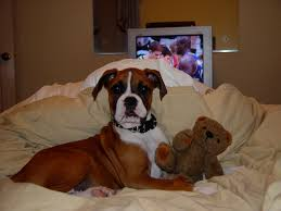 cutest boxer puppy ever macho and his bear a long time ag u2026 flickr