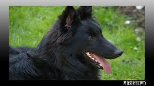 belgian sheepdog facts belgian shepherd wallpaper android apps on google play
