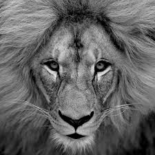 referencing black white picture lion helps