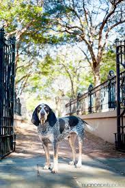 bluetick coonhound decals 142 best bluetick houndz images on pinterest bluetick coonhound
