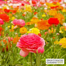 ranunculus tecolote mix persian buttercups bulbs high country