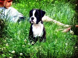 boxer dog european about us