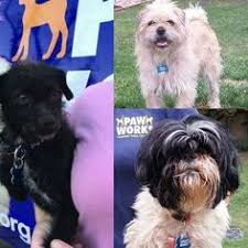 affenpinscher terrier mix i found titus on