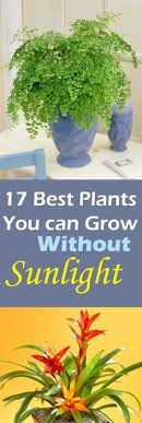 sunlight l for plants top 20 hard to kill indoor plants l clever plants and peace lily
