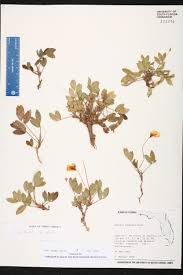 218 best native plants images herbarium specimen details isb atlas of florida plants
