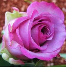 Black Rose Flower Online Shop Black Rose Seeds Rare Amazingly Beautiful Black Rose