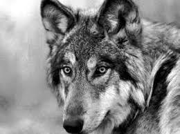 endangered species grey wolf