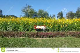 beautiful yellow flower field with cute bench stock photo image