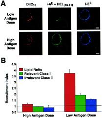 61 by Mhc Class Ii Peptide Complexes And Apc Lipid Rafts Accumulate At