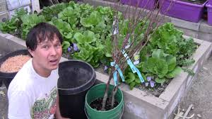 how to plant a bare root fruit tree in a container to grow fruit